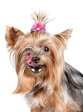 Yorkshire terrier dog licking its nose