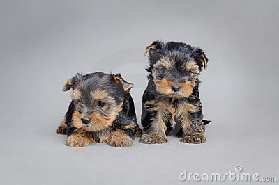 Yorkshire terrier Dog puppies portrait