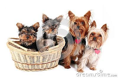 Yorkshire Terrier family