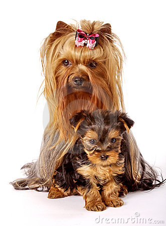 Yorkshire Terrier family