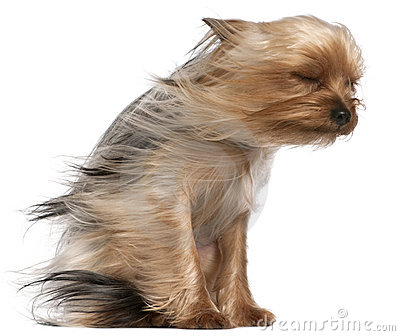 Yorkshire Terrier with hair in the wind