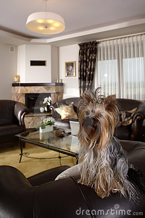 Yorkshire Terrier at home