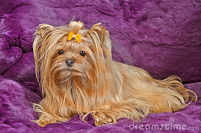 Yorkshire terrier lying against purple furs