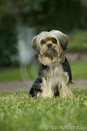 Yorkshire terrier mix dog on lawn