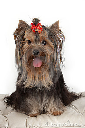 Free Yorkshire Terrier On Banquette. Stock Photo - 16061990