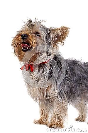 Yorkshire Terrier panting