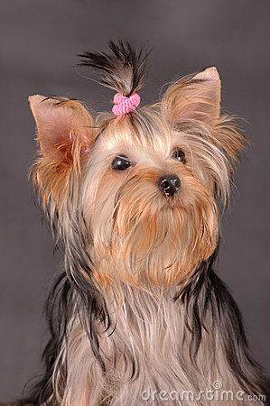 Yorkshire Terrier Portrait Royalty Free Stock Image - Image: 7742896