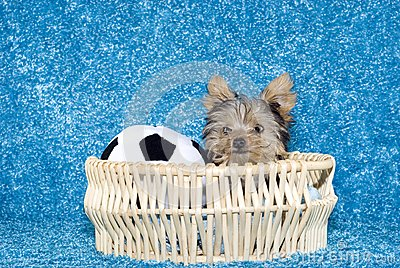 Yorkshire Terrier Puppy in basket with soccer ball