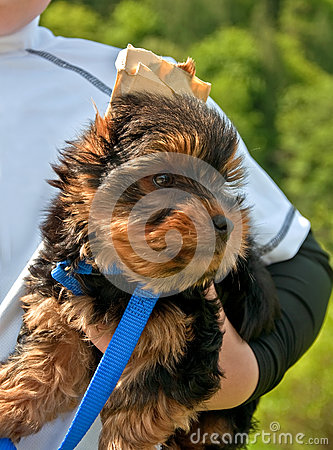 Yorkshire Terrier Puppy Being Held By Child