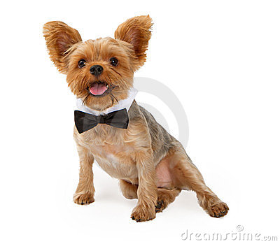 A Yorkshire Terrier Puppy with a Bow Tie