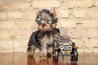 Yorkshire Terrier puppy with decorative auto