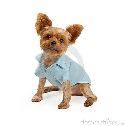 Yorkshire Terrier Puppy Wearing Blue Outfit