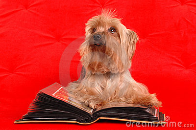 Yorkshire terrier reading a book