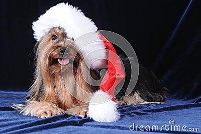 Yorkshire terrier in Santa Claus hat
