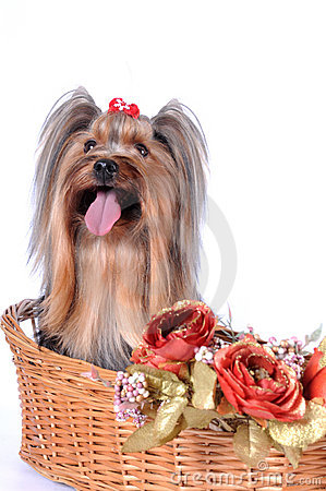 Yorkshire terrier sits in a basket