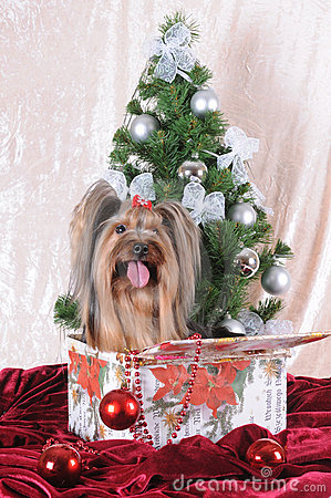 Yorkshire terrier sits in a present box