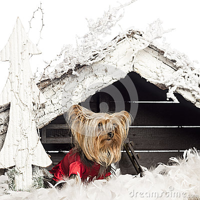 Yorkshire terrier sitting and dressed