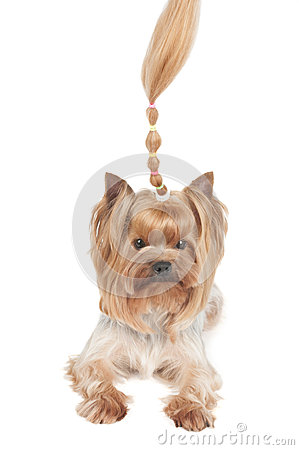 Yorkshire Terrier with upright curl