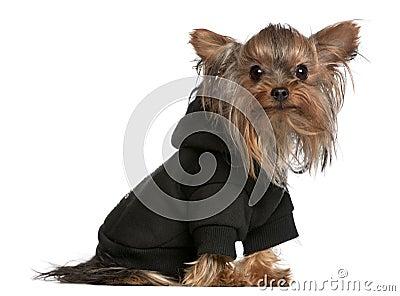 Yorkshire Terrier wearing black sweatshirt