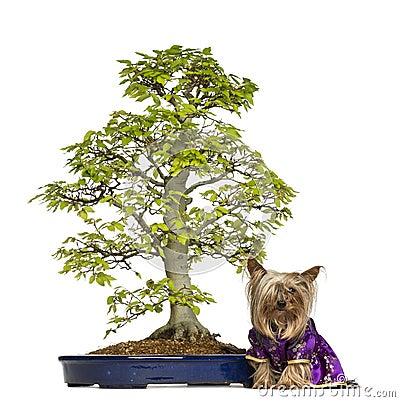 Yorkshire Terrier wearing a kimono sitting next to a Bonsai tree