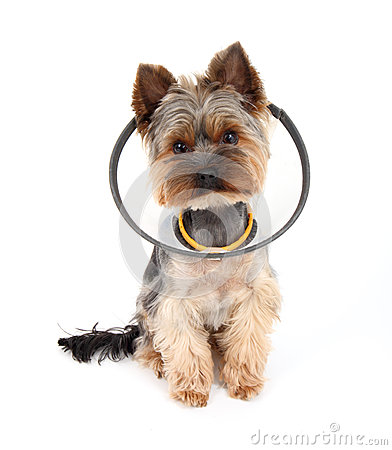 Yorkshire Terrier wearing protect collar