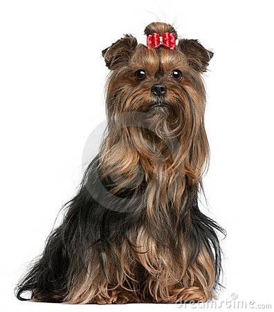 Yorkshire Terrier wearing red bow, 9 years old