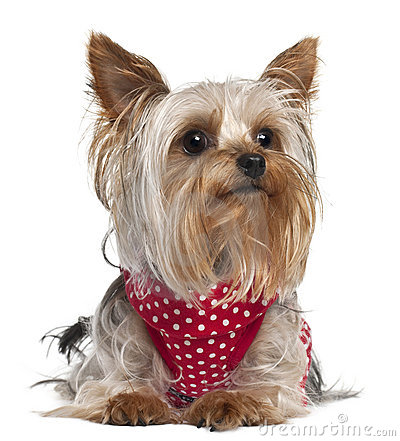 Yorkshire Terrier wearing red and white polka