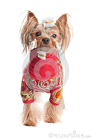 Yorkshire terrier in wrapping paper and jacket