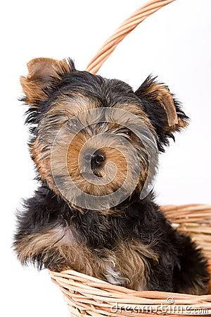 Yorkshire Terrier (York) puppy