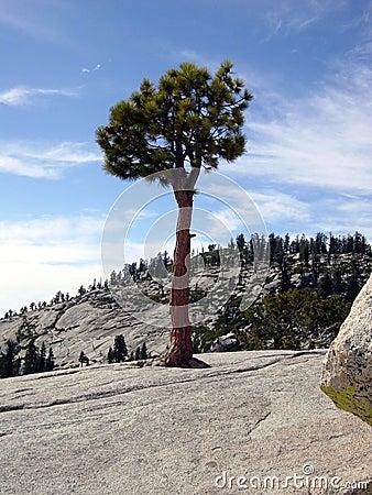 Yosemite lonely pine tree