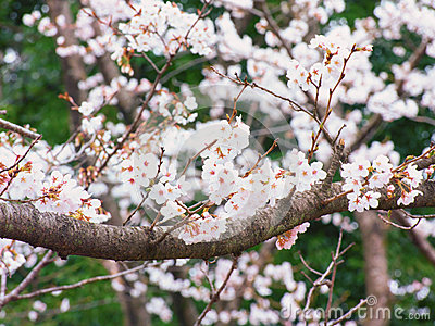 Yoshino cherry tree branches in full bloom in the sky background stock photo image 39687883 - Romanian cherry tree varieties ...