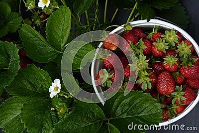 You-Pick-Em Strawberries