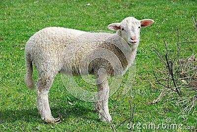 Youn sheep