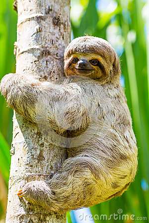 Free Young 3 Toed Sloth In Its Natural Habitat. Amazon River, Peru Stock Images - 40590664