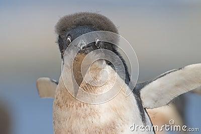 Young Adelie Penguin on Yalour Island, Antarctica.