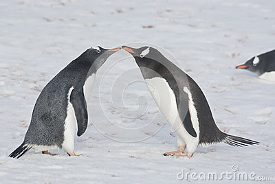 Young and adult gentoo penguins.