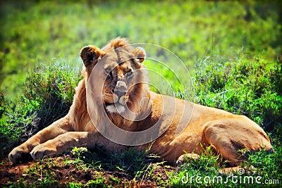Young adult male lion on savanna. Safari in Serengeti, Tanzania, Africa
