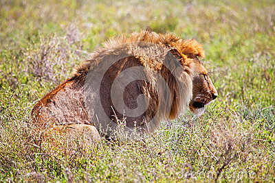 Young adult male lion on savanna. Safari in Serengeti, Tanzania, Africa