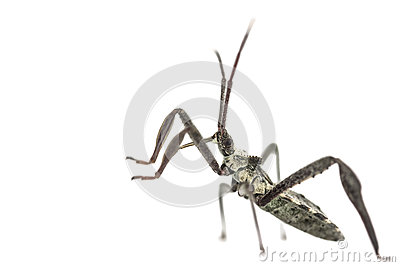 Young adult wheel bug macro