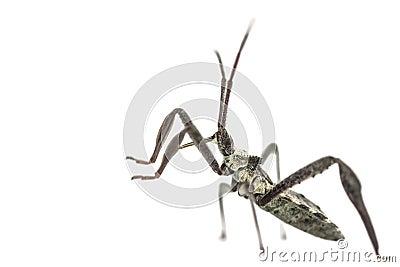 Young adult wheel bug macro