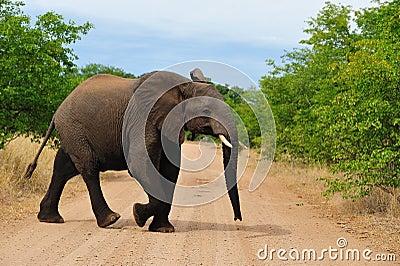 Young African Elephant (Loxodonta africana)
