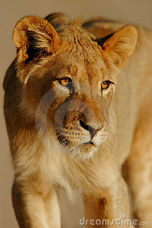 Free Young African Lion Royalty Free Stock Photography - 607287