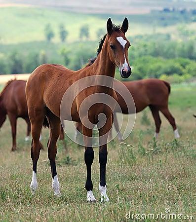 Young akhal-teke horse