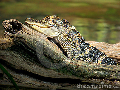 Young Alligator Sunning on Log