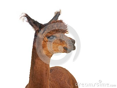 Young Alpaca Royalty Free Stock Image - Image: 26501926