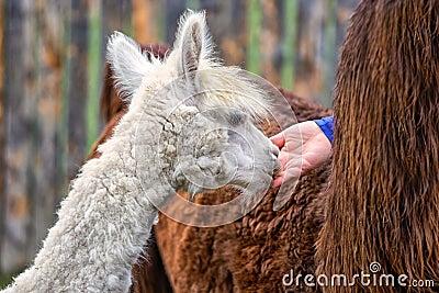 Young Alpaca