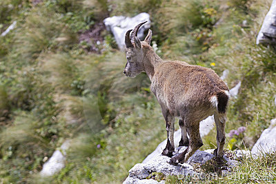 Young alpine ibex
