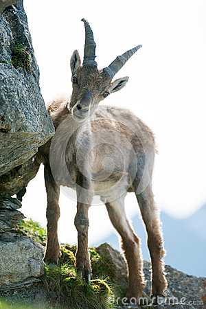 Young alpine ibex (lat. Capra ibex)
