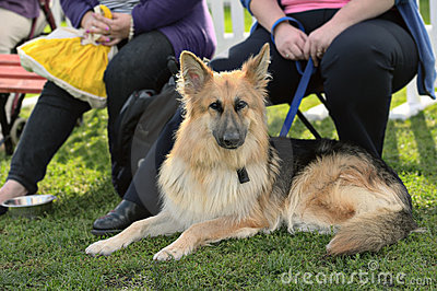 Young alsatian (german shepherd) dog lying down