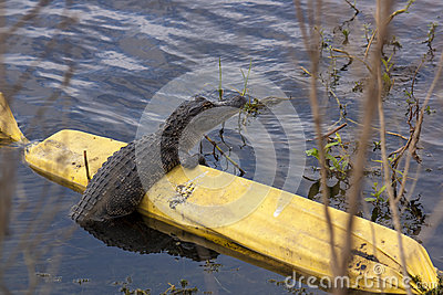 Alligator resting on barrier in lake